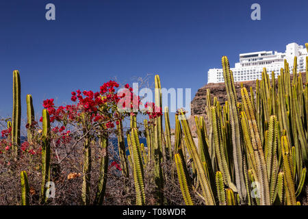 Flowering cactus at Amadores, Gran Canaria, Canary Islands - Stock Image