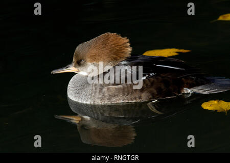 A sleepy female Hooded Merganser (Lophodytes cucullatus) floating on a mirrowed surface in Southern England - Stock Image