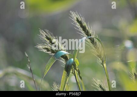 Heads of wheat against green background - Stock Image