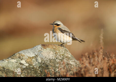 Northern Wheatear, Latin name Oeanthe oeanthe, male in breeding plumage, standing on a lichen covered rock in warm - Stock Image