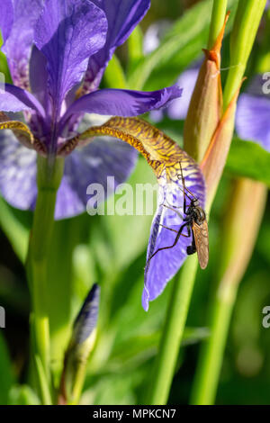 Fly collecting pollen nectar on an Iris sibirica (commonly known as Siberian iris or Siberian flag), Essex, UK - Stock Image