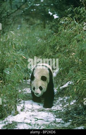 Giant panda walks past bamboos, Wolong, China in winter. - Stock Image