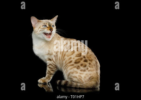Snow White Bengal Cat with rosette fur Sitting and meowing on isolated Black Background, side view - Stock Image