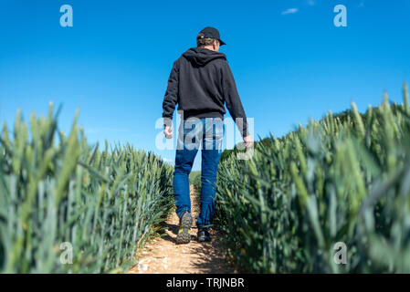 back view of a farmer checking his field of wheat as it ripens, low angle. - Stock Image