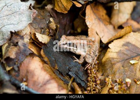 Wood Frog, Rana sylvatica, at the Mass Audubon Arcadia Wildlife Sanctuary in Northampton, Massachusetts. - Stock Image