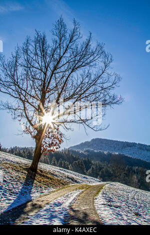 Deciduous Tree In Winter Landscape In Backlight - Stock Image