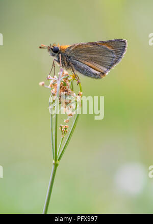Alpine skipper - Stock Image