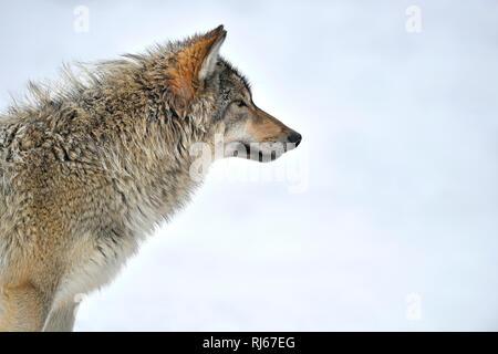 Timberwolf, Kanadischer Wolf (Canis lupus lycaon), captive, Portrait - Stock Image