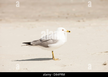 Seagull at beach - Stock Image