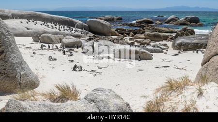 African jackass penguin at Boulders Beach SA - Stock Image