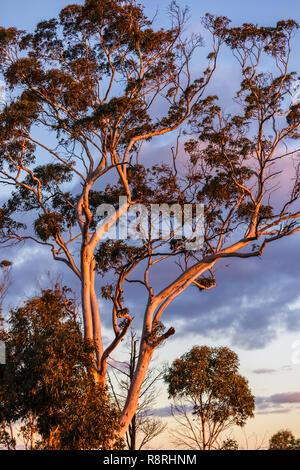 Tree in Sunset light, Mt Dale, Western Australia - Stock Image