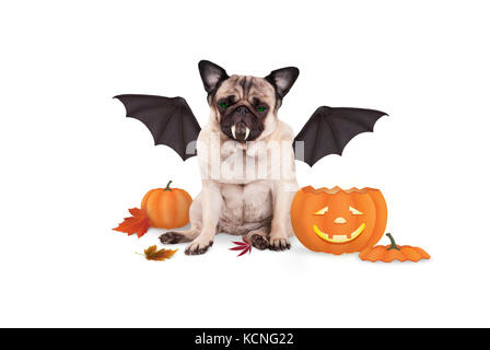 pug dog dressed up as bat for halloween, with funny pumpkin lantern, isolated on white background - Stock Image