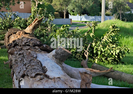 Large tree lying on the side of a suburban street after a storm in Melbourne, Australia. - Stock Image