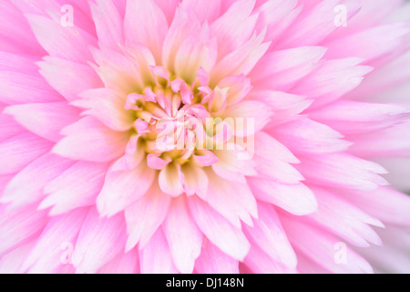 A close-up of a pink dahlia. - Stock Image