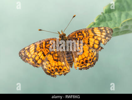 Mylitta Crescent Phyciodes mylitta butterfly with wings spread open, top view, on a green background - Stock Image
