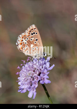 Adonis Blue female on scabious. Denbies Hillside, Ranmore Common, Surrey, England. - Stock Image