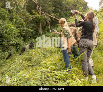tourists on safari watching and photographing mountain gorillas, Bwindi Impenetrable Forest, Uganda, Africa - Stock Image