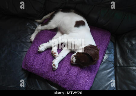 A 10week old English springer spaniel sleeping on a Cushion in  her favourite spot on the couch. - Stock Image