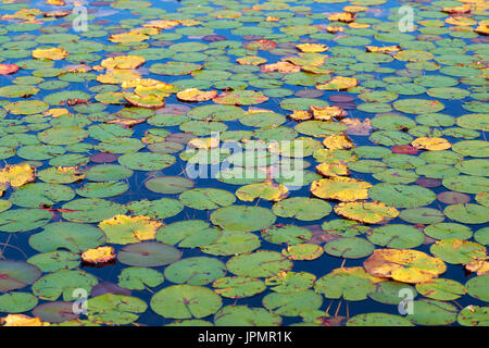 Water lillies lilly-pads lily-pads floating on the surface of a lake. - Stock Image