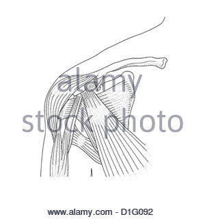 ILLUSTRATION - SHOULDER JOINT ANATOMY - Stock Image