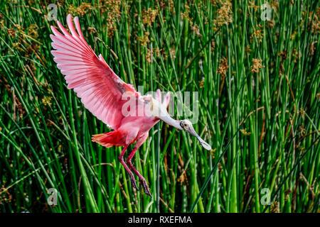 Perfect Roseate Spoonbill landing. - Stock Image