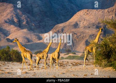 Reticulated giraffes (Giraffa camelopardalis) desert dwelling giraffes in Damaraland. Namibia - Stock Image