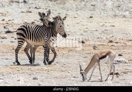 Africa, Namibia, Etosha National Park. Zebras and springbok. Credit as: Wendy Kaveney / Jaynes Gallery / DanitaDelimont.com - Stock Image