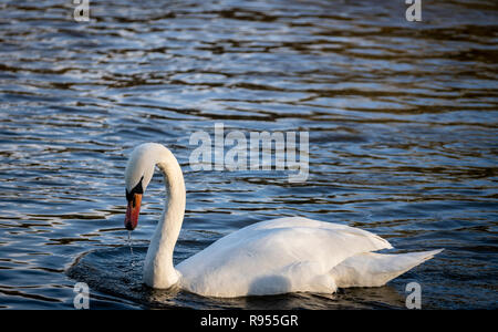 Swans at the Swan sanctuary on the bank of the River Severn in Worcester, UK - Stock Image
