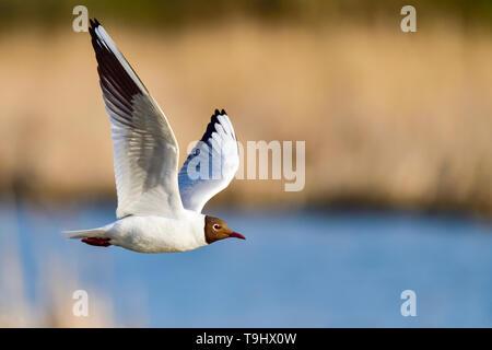 Black-headed Gull flyby - Stock Image