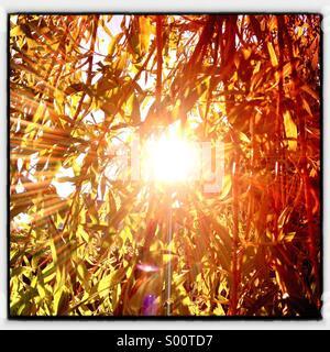 Sun shining through a willow tree. - Stock Image