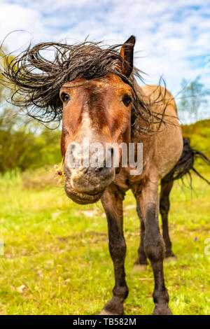 Animal portrait of wild brown pony in need of a haircut in Dorset, England. - Stock Image