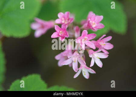 Flowering Currant (Ribes sanguineum) flowers - Stock Image