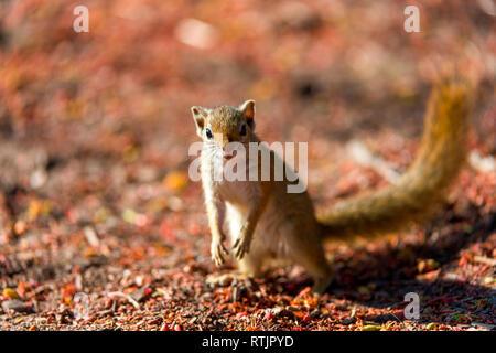 Tree Squirrel, Smith's bush squirrel, yellow-footed squirrel, Paraxerus cepapi, Tanzania, East Africa - Stock Image
