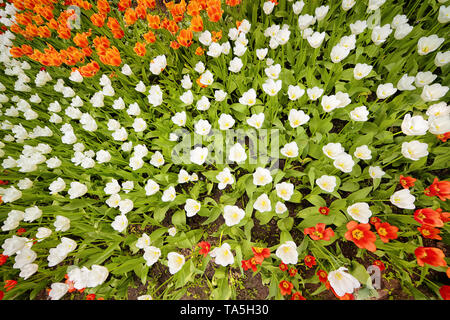 Bright red and white tulips flowerbed top view. Floral texture and background - Stock Image