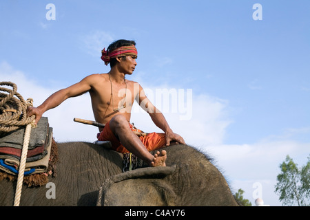 Thailand, Surin, Surin.  A Suai (known locally as 'Guay') mahout sits atop his elephant mount - Stock Image