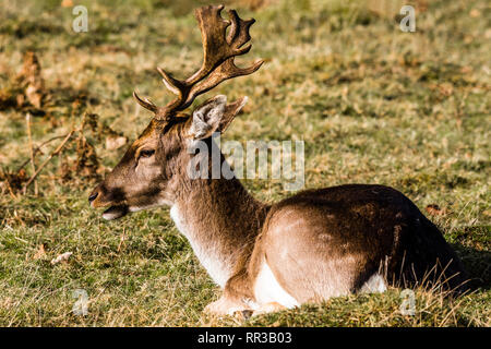 Fallow Deer stag sitting at Knole Park, Kent, UK - Stock Image