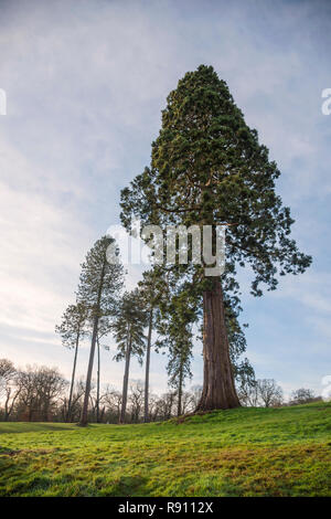 Giant  Sequonia redwood  Wellingtonia tree  standing tall in a Staffordshire parkland England UK - Stock Image