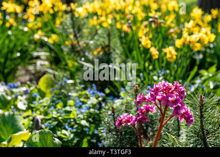 Bergenia, Elephants Ears, in a spring flower border with daffodils and for get not's in the background. - Stock Image