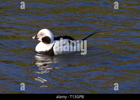 A male Long-tailed Duck (Clangula hyemalis) swimming in a lake in Southern England - Stock Image