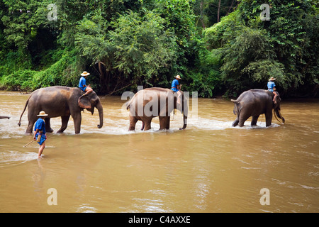 Thailand, Chiang Mai, Chiang Dao. A line of elephants wades through the Ping River at the Chiang Dao Elephant Training - Stock Image