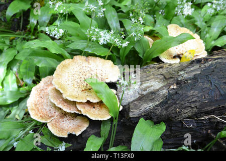 Bracket fungus in woodland near Arlington, Devon, UK - Stock Image