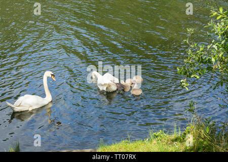 Mute swans teaching cygnets feeding techniques - Stock Image