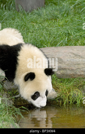 Giant panda drinking from a small pool, Wolong China - Stock Image