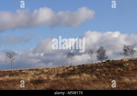 Leafless winter Silver Birch (Betula pendula) trees growing among the dead bracken, heather and grasses on Froggatt - Stock Image