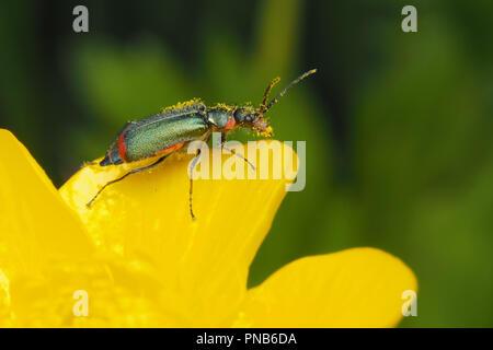 Common Malachite Beetle (Malachius bipustulatus) perched on tip of buttercup. Tipperary, Ireland - Stock Image