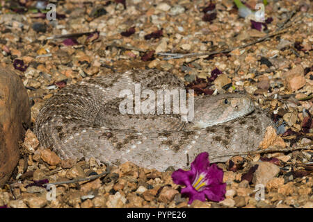 A Western Diamondback rattlesnake (Crotalus atrox) lays in wait in early morning, hunting for birds or rodents (Arizona) - Stock Image