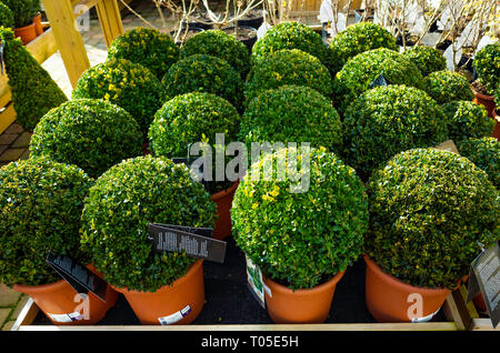 Buxus Ball potted box bushes for sale in a Yorkshire Garden centre 2019 for sale at £39.99 for one or £60 for two - Stock Image