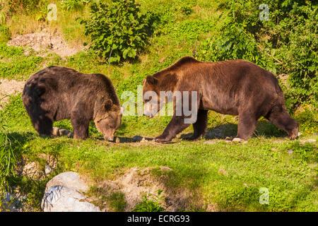 TWO BROWN BEARS, BEAR PARK, BAERENPARK BERN, OLD TOWN OF BERN, BERNE, CITY, BERN CANTON, SWITZERLAND - Stock Image