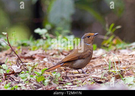 A female Large Niltava (Niltava grandis) on the forest floor in the hiils of Northern Thailand - Stock Image
