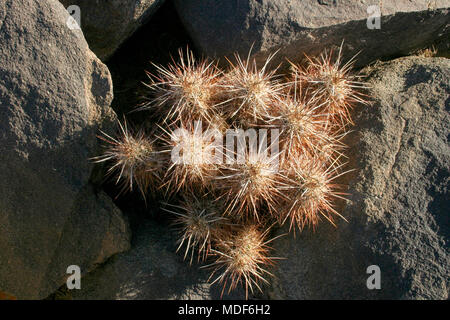Group of cacti among stones Echinocereus engelmanii, Joshua Tree Landscape Yucca Brevifolia Mojave Desert Joshua Tree National Park California - Stock Image